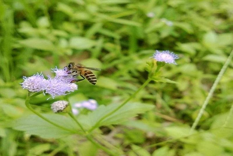 St Ann bee